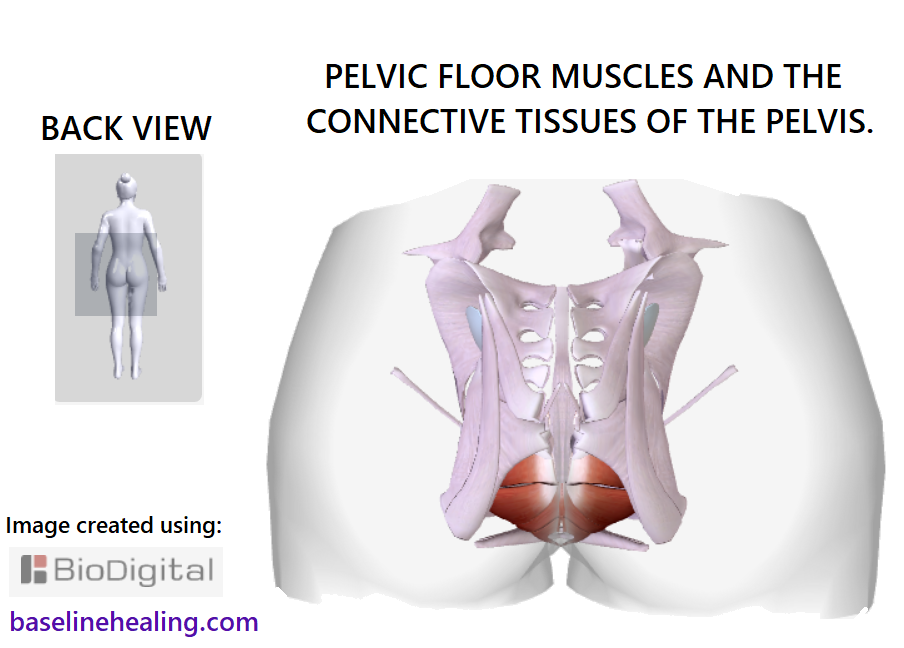 The Pelvis Anatomy Images Pelvic Floor Connective Tissues Bones