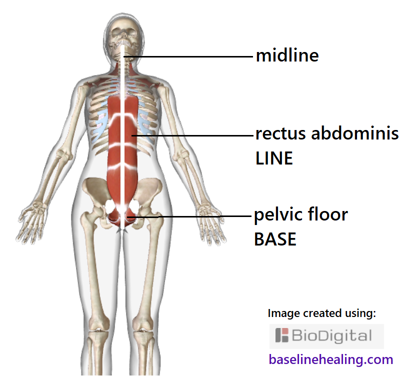 human skeleton seen from the front also showing the base-line muscles. the pelvic floor at the base of the body.  The rectus abdominis muscles from pelvis to rib cage up the front of the abdomen, either side of our midline anatomy of the linea alba.  Midline is drawn on the figure, splitting the body into equal left and right halves. The rest of the body should be thought to extend from our Base-Line muscles. Feeling the relative position of the rest of the body from a base-line reference. Connecting body and mind.