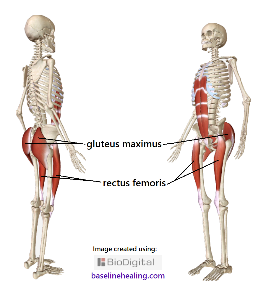 the gluteus maximus and rectus femoris muscles on a skeleton. Working together to support each leg and align the legs to torso. The gluteus maximus are large muscles covering the back of the pelvis, forming the superficial layer of the buttocks. Convex on the outer side, concave on the inner side, approximating as a square shaped bowl of muscle, tilted across the buttocks. The rectus femoris long, straight muscles at the front of the thigh crossing the hip and knee joints. Also shown are the rectus abdominis muscles up the front of the abdomen from pelvic symphysis to the rib cage.