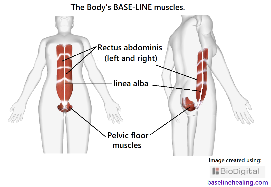 base-line muscles and linea alba pelvic floor base Rectus abdominis line. Core pillar of strength.