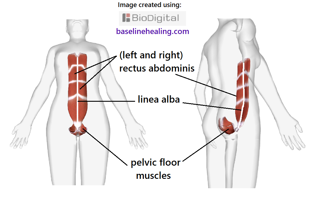 human figure from two angles showing the baseline muscles. The pelvic floor, like a basket of muscles. A crescent-shape on midline.  The rectus abdominis muscles at the front of the abdomen. The rectus abdominis muscles are the body's central line from pelvis to chest. The body's core pillar of strength to support the movement of the rest of the body when fully activated and elongated.