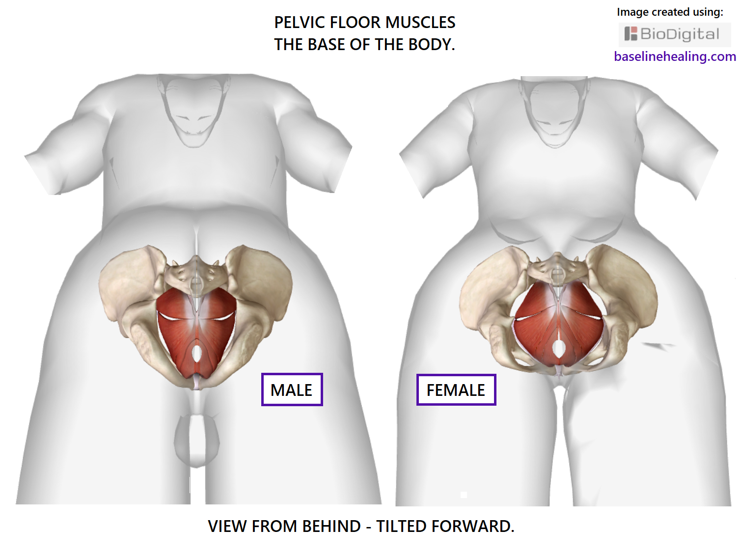 Pelvic Floor Muscles The Base For All Movement-Anatomy-4645