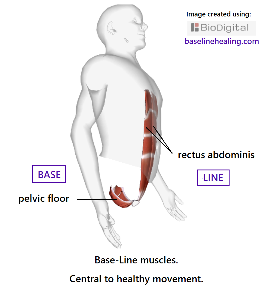 human figure seen from an angle, front-side view. Showing the base-line muscles, pelvic floor the base of the body, like a basket of muscles. And the rectus abdominis muscles, side by side from base to chest. The base-line muscles are linked by the pubic symphysis of the pelvis. The rectus abdominis muscles are like two stacks of panels of muscle, the body's core pillar of strength when activated and elongated. These muscles are central to healthy movement and developing your sense of conscious proprioception.
