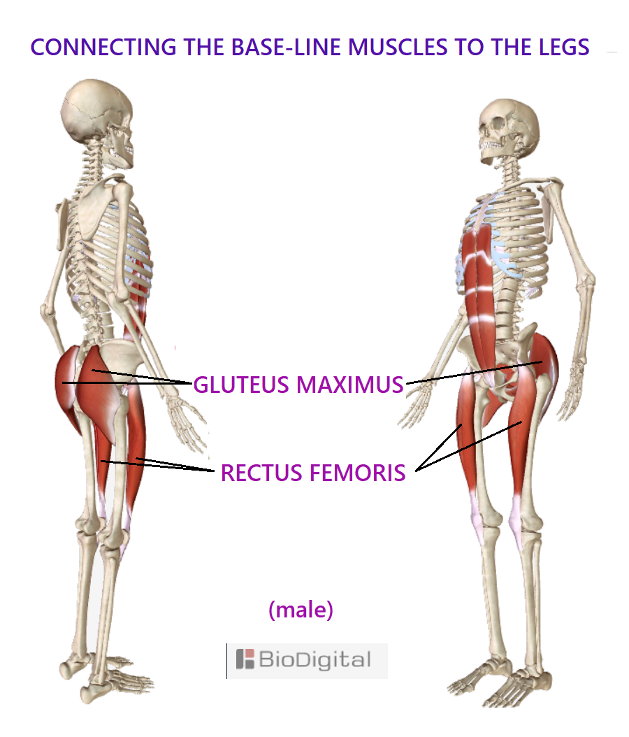 the gluteus maximus and rectus femoris on a skeleton.  working together to support each leg