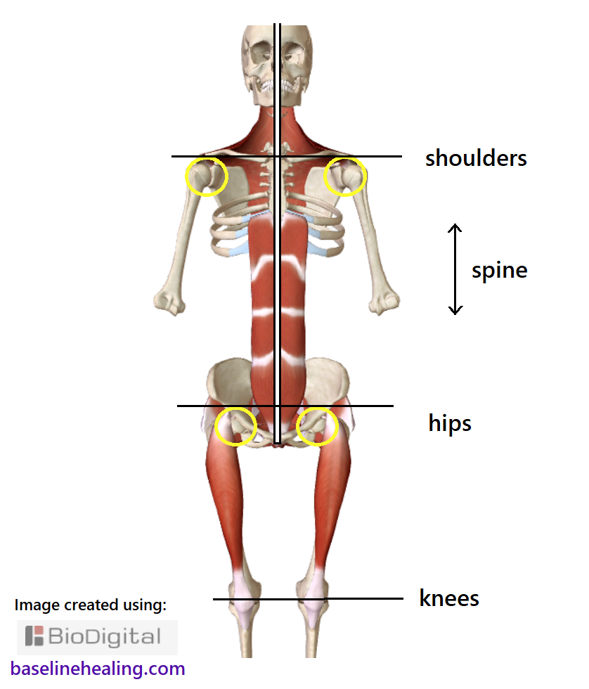 skeleton and main muscles of movement seen from the front. Highlighting the positioning of the hip shoulder and knee joints when the body is balanced. Good posture comes with midline alignment. When the main muscles of movement are fully utilised the rest of the body falls into line, correctly positioned.