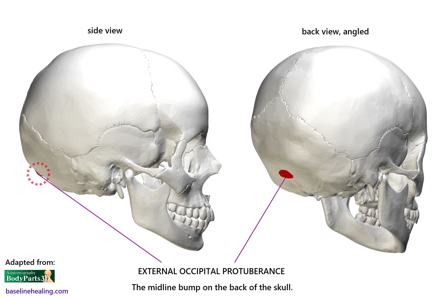 The occipital protuberance, the bump on the back of the skull on the median plane/midline