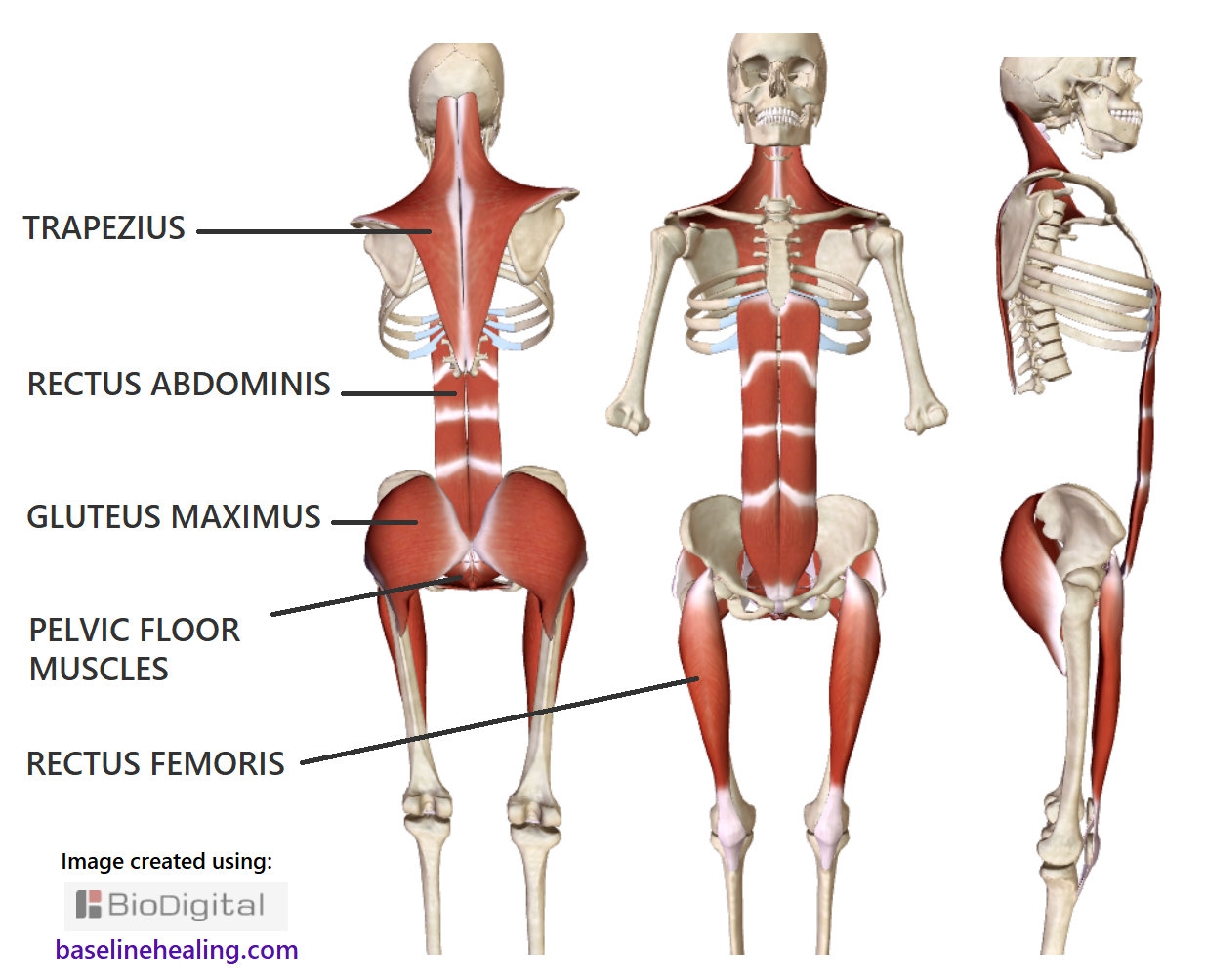 the 5 main muscles of movement labelled on a skeleton. Viewed from differenct angles. Trapezius of the upper body, the rectus abdominis at the front of the abdomen pelvis to chest, gluteus maximus big ass muscles, pelvic floor a group of muscles that are the base of the body and the rectus femoris of each leg, strong poles down the front of each thigh. The central muscular framework of the body. Key to a good posture and a full range of natural movement with dynamic balance and alignment.
