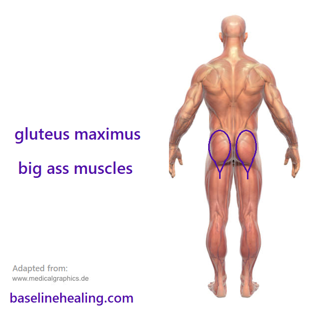 Human figure seen from behind. The gluteus maximus muscles are marked. The gluteus maximus muscles your big ass muscles, hands on buttocks feel for them tightening, buns of steel.