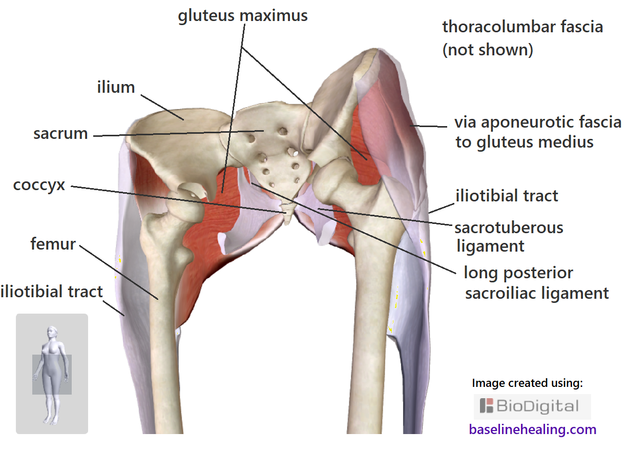 Gluteus maximus attachments in detail showing the bones of the pelvis, sacrum, coccyx and femur, off-front view. The ligaments and fascia that the gluteus maximus attaches to are also shown. The various anatomical structures merge together, many forms of connective tissue blending into muscle and bone. Don't think of muscles as individual structures but as rather contractile fibers within a web of connective tissue. The gluteus maximus are the largest muscles of the body - hands on buttocks feel them tighten and influence the positioning of the surrounding bone and connective tissues, connecting the legs to Base-Line support.