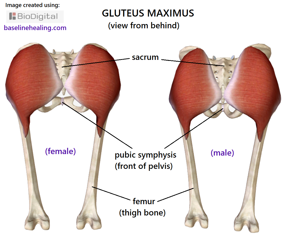 2 images of the gluteus maximus muscles, showing male and female seen from behind. The sacrum lies between the left and right gluteus maximus muscles, a triangle of bone in the middle, with the point downward on midline. The left and right gluteus maximus are closest together at the bottom of the sacrum. Each muscle being a corner, approximately 90 degrees. The muscles diverge as they go up the sides of the sacrum to the top ridge of bone of the pelvis, this edge is straight.  From the base of the sacrum the muscles head downward to the top of the thigh bone (femur), also with a straight edge that then forms a distal projection of muscle onto the femur. The gluteus maximus are approximately rhomboid shaped, the outer edges of the muscles differ between male and female. The female a much rounder shape, fuller at the top.