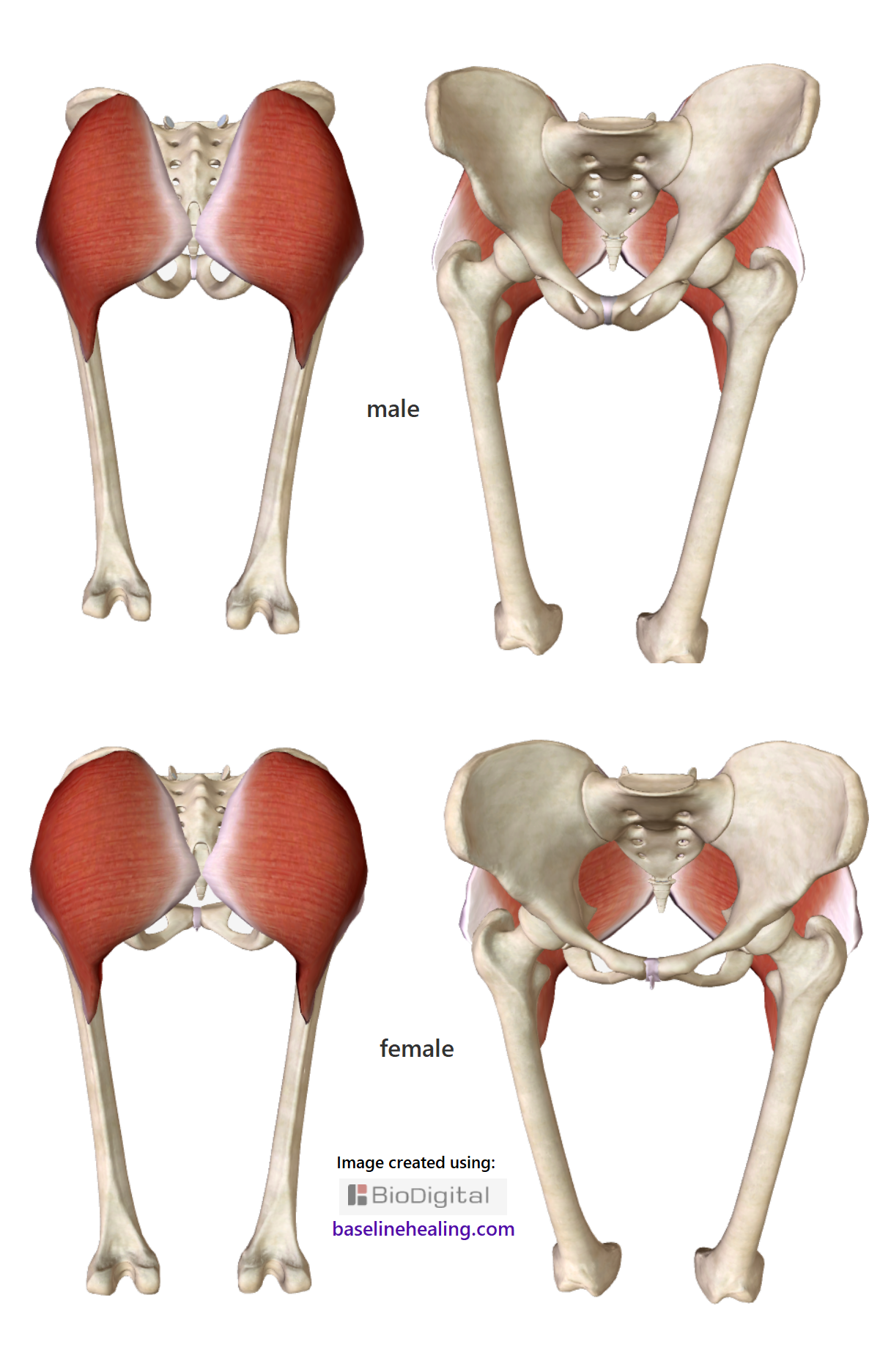 The gluteus maximus muscles, bones of the pelvis, sacrum and femur are shown. Front and back views. The male pelvis is narrower and triangular and the gluteus maximus, covering the back of the pelvis, a quadrilateral shape with the outer margins quite straight. The female pelvis is wider and rounder with the gluteus maximus muscles also rounder in shape, curving on the outer margins.