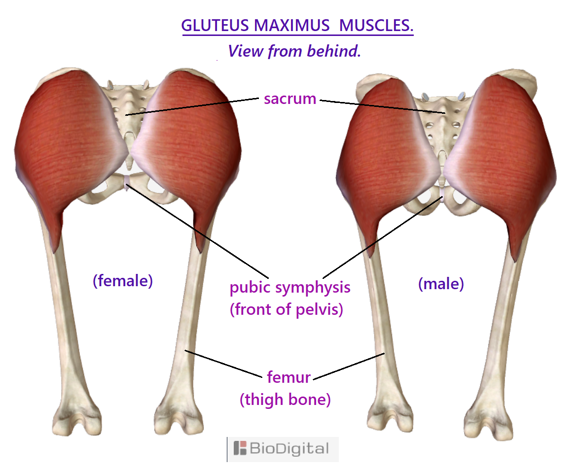 the gluteus maximus muscles, your big ass muscles covering the pelvis when seen from behind, with the sarcum lying inbetween the left and right muscles. Female rounder shape. Male more rhomboid
