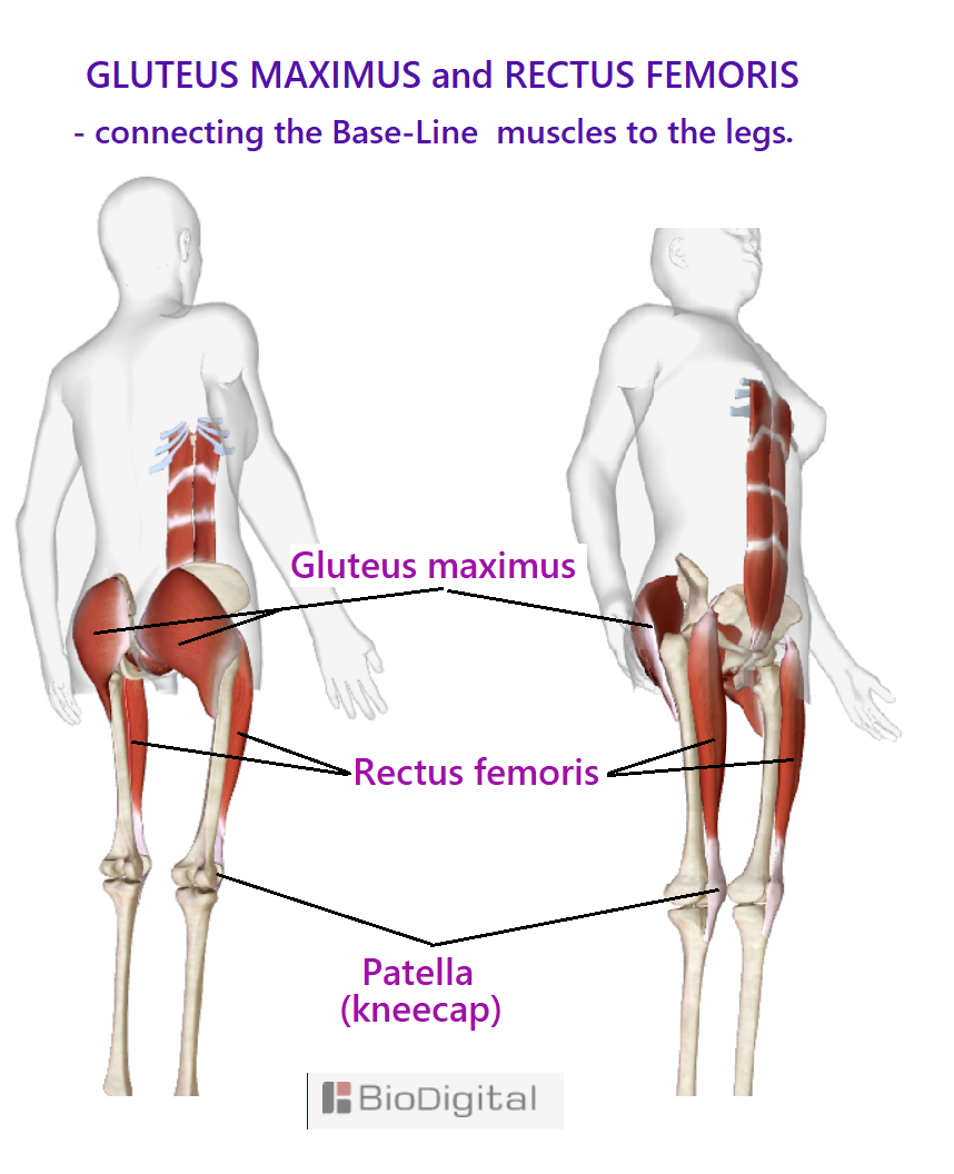 gluteus maximus and rectus femoris muscles connecting the Base-Line muscles to the legs