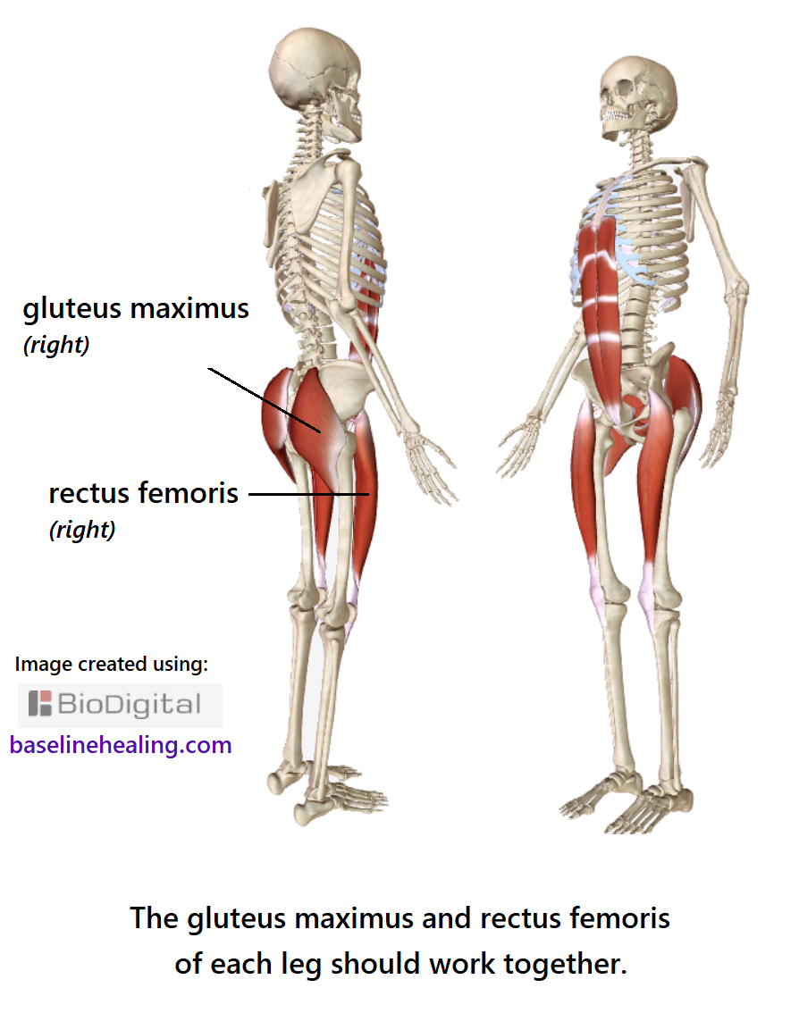 The gluteus maximus and rectus femoris muscles connecting the base-line muscles to the legs.