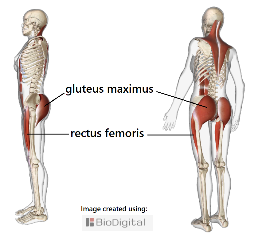 baseline to legs. gluteus maximus and rectus femoris muscles of each leg working together.  The rectus femoris attaches to the front of the pelvis and runs down the front of the thigh forming part of the common tendon of the quadriceps femoris muscle group which attaches to the kneecap then continues as the patellar ligament attaching to the top of the tibia/shin bone.