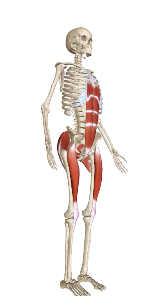 the gluteus maximus muscles of the buttocks, big and strong.  The rectus femoris muscles of each leg from pelvis to shin bone/tibia, a strong pole down the front of each leg. These muscles work together, focus on the whole of each muscle contracting, linking to baseline suppport.