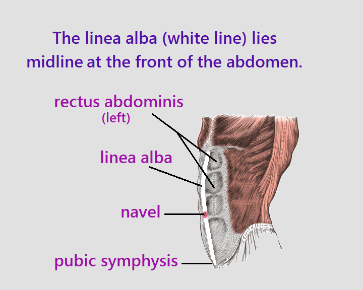 seen from side angle. The linea alba between the rectus abdominis muscles, midline from the pubic symphysis of the pelvis to the xiphoid process of the sternum. The navel is situated on the linea alba. The aponeuroses of the lateral abdominal muscles merge to form the rectus sheath enclosing the rectus abdominis muscles before meeting in the middle to form the linea alba.