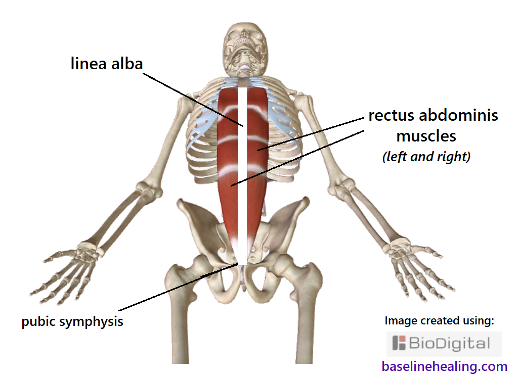 skeleton showing the midline linea alba and rectus abdominis muscles either side. The rectus abdominis and linea alba start at the pubic symphysis between the legs and go up the front of the abdomen to the ribcage. The rectus abdominis muscles consist of panels of muscle tissue, like two stacks of blocks either side of the linea alba. If the rectus abdominis muscles are activated and elongated they will align the linea alba and associated midline markers - the pubic symphysis, navel and xiphoid process of the sternum.