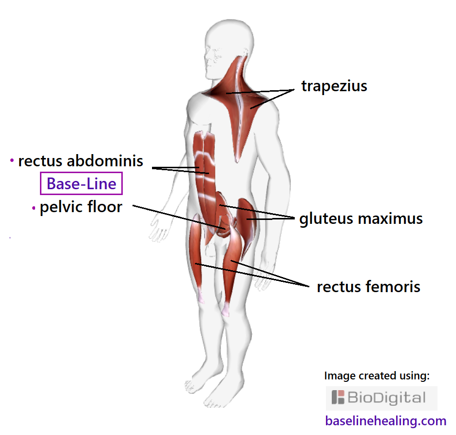 3D outline of human figure, attempting to show the five main muscles of movement at once. The trapezius muscles extend from the back of the head down the neck to midback, extending out towards each shoulder. Thin, sculpted muscles that make up the superficial layer of back of the upper body. The rectus femoris muscles of the front of the thigh, pillars of muscle from lower leg to the main body.  The gluteus maximus muscles the power house in the buttocks. The Baseline pelvic floor and rectus abdominis muscles at the core of the body.  The rectus abdominis muscles extending up the front of the body consisting of sections of muscle separated by strips of connective tissue up the front of the abdomen. Like two parallel stacks of blocks supporting the rest of the body.
