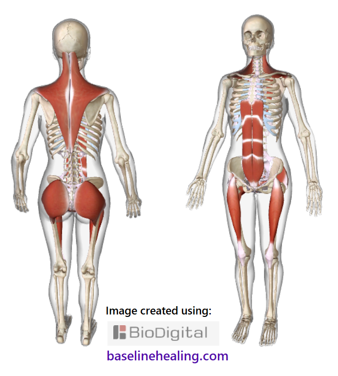 human figure seen from the front and the back showing the 5 main muscles of movement. The trapezius muscles extend from mid-back to the back of the head, extending out towards each shoulder, like a kite-shaped blanket of muscle over the back of the body. The nuchal and supraspinous ligaments midline between the trapezius muscles. The rectus femoris muscles of the legs attach to the pelvis and shin, crossing both the hip and knee joints. When fully engaged along their full length the rectus femoris muscles correctly align the hips and knees to the body. The gluteus maximus muscles are at the back of the pelvis, big ass muscles that work together with the rectus femoris to support the legs through a full range of movement.