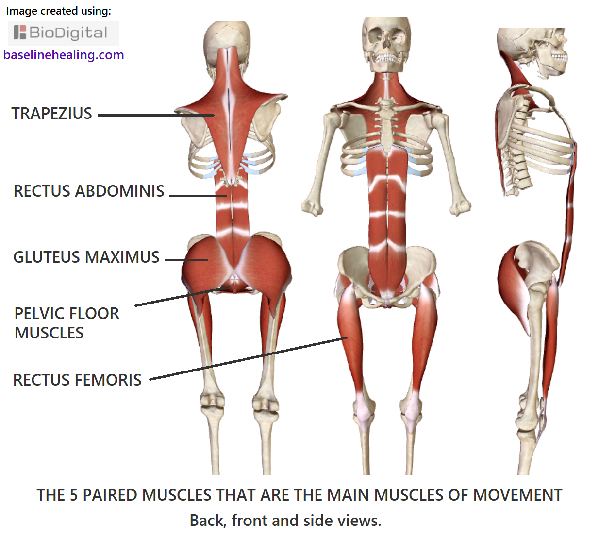 the 5 main muscles of movement labelled, paired, left and right sides. Trapezius, rectus abdominis, gluteus maximus, pelvic floor (group of muscles) and rectus femoris.