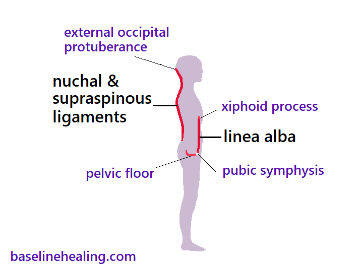 Side view of midline slice of a human figure - the median plane, a 2 dimensional shape when seen from the side. Showing the cup shaped pelvic floor at the base of the bodoy. The linea alba at the front of the body from the pubic symphysis of the pelvis to the xiphoid process at the front of the rib cage on the body's midline. The nuchal ligament and supraspinous ligament are a continuous structure at the back of the body. From the midline bump on back of skull known as the external occipital protuberance, extending down to the lower lumbar area of the back. The nuchal ligament and supraspinous ligaments are curved down neck to mid back and then another curve to the lower spine. Our linear midline anatomy that should be fully extendable and flexible through a full range of natural movement for the body to be dynamically balanced and in alignment.