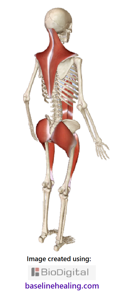 skeleton and the 5 main muscles of movement side-back view showing the trapezius muscles extending from shoulder to shoulder, base of the skull to mid-back, a curved diamond-shaped blanket of muscle over the upper body.  The gluteus maximus muscles, solid and secure in the buttocks, linking to the rectus femoris at the front of each thigh. The main muscle of movement are the body's central support needed for pain free movement when these muscles feel balanced either side of the median plane and the body is free of physical restrictions.