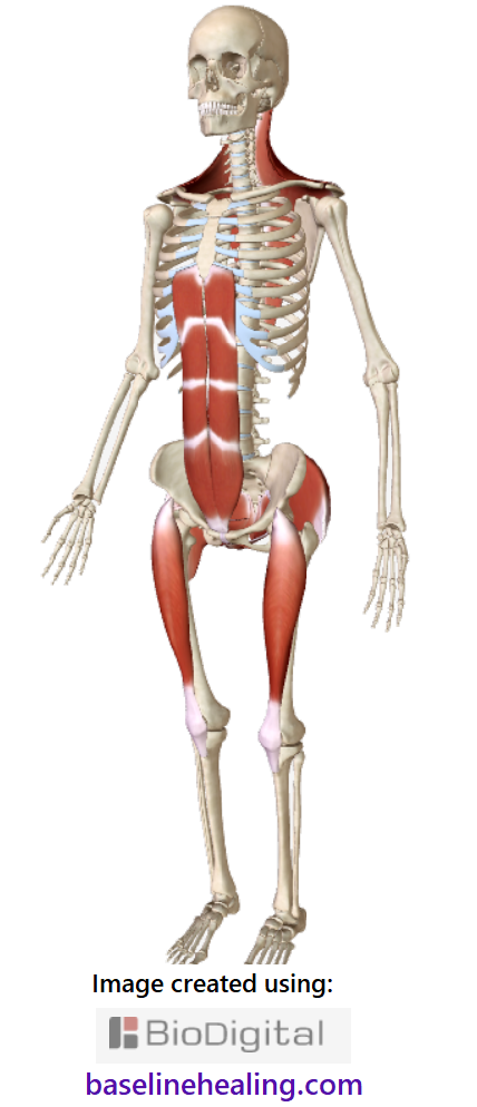 skeleton and the five main muscles of movement crucial to physical health. side-front view. The rectus abdominis muscles a strong pillar up the front of the abdomen pelvis to chest, two parallel stacks of muscle panels extending from the pubic symphysis of the pelvis. The basket-like pelvic floor muscles at the base of the torso. The rectus femoris are like strong pole down the front of each thigh. The gluteus maximus big ass muscles linking the legs to base-line support.  The trapezius muscles the superficial muscle layer from mid back to the back of the head, shoulder to shoulder. Diamond-shaped sheet of muscle, curving down the neck and back. Feel for the muscles on your body, imagine them activating and make a connection.