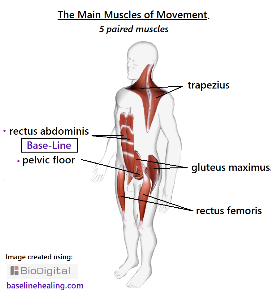 the main muscles of movement in a human outline. The 5 paired muscles with the Base-Line pelvic floor and rectus abdominis muscles the central pillar of strength. The trapezius muscles from the back of the head to midback, shoulder to shoulder, a curved blanket expanding over the neck and back. The rectus femoris a strong pole from hip bone to shin.   The gluteus maximus - big ass muscles.