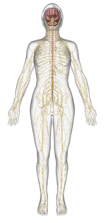 outline of human figure seen from the front. Showing the network of nerves throughout the body. The central nervous system consisting of the spinal cord and brain.  A web of smaller nerves from the extremities feeding into larger nerves, transmitting the sensory information about the body's position, motion and balance which is processed for our sense of proprioception. Conscious proprioception is when we experience this sensory feedback our body has for us. Seeing the sparkles, feeling the position of the body relative to base-line, instinctively knowing where our natural range of movement should take us.