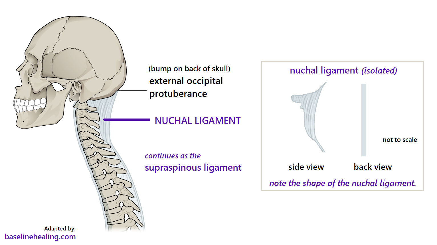 the nuchal ligament in the back of the neck attaching to the skull and cervical vertebrae.  a 2D (rough edged) triangle like ligament when seen from the side.  Long flat side down the back of the neck, extending to the cervical vertebrae with a bumpy edge as it attaches to the different shaped vertebrae.  Hard to describe!