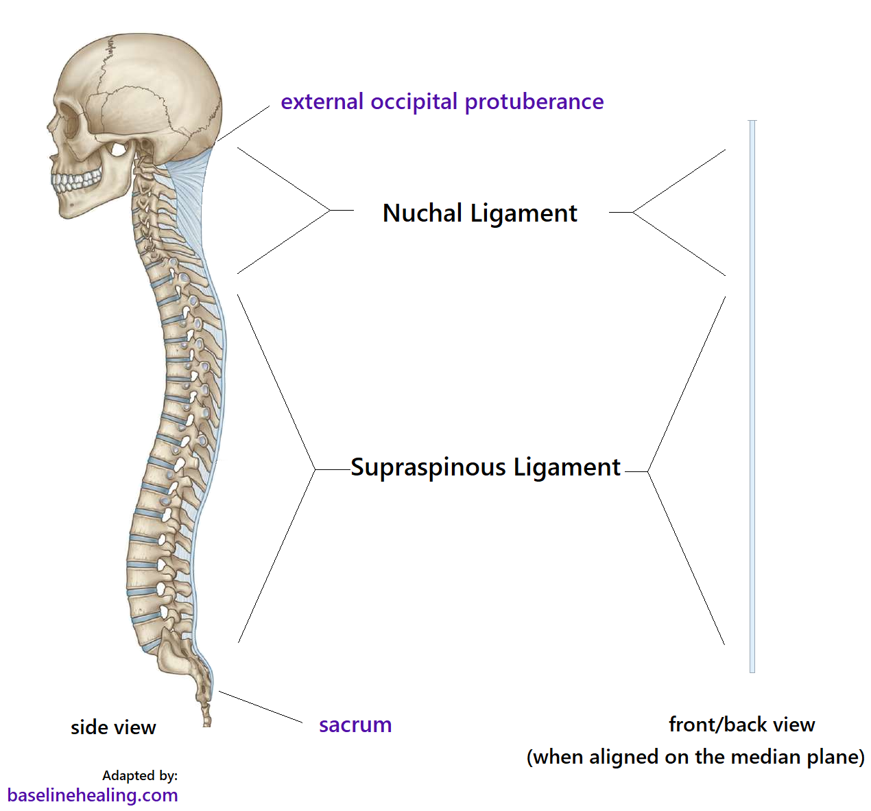 showing the skull and spine with the nuchal ligament and supraspinous ligaments that attach to each vertebra. These ligaments form one continuous structure  midline at the posterior (back) of the body.  The nuchal and supraspinous ligaments follow the contour of the spine when seen from the side. When these structures are aligned i.e. in a straight line on the median plane they appear as a straight line from the front or back. From the side the nuchal ligament can be seen to be a 'leaf' of tissue in the back of the neck, like a blade maybe. It should be possible to palpate the nuchal ligament in the neck, but imbalance and misalignment make this harder.