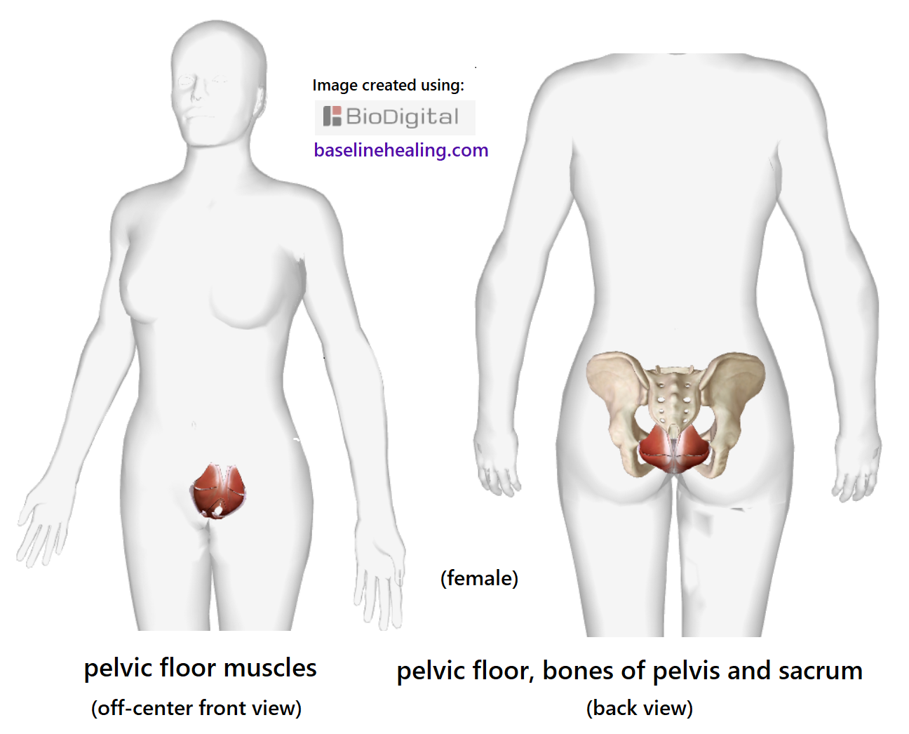 Pelvic Floor Muscles. The Base for all movement-anatomy