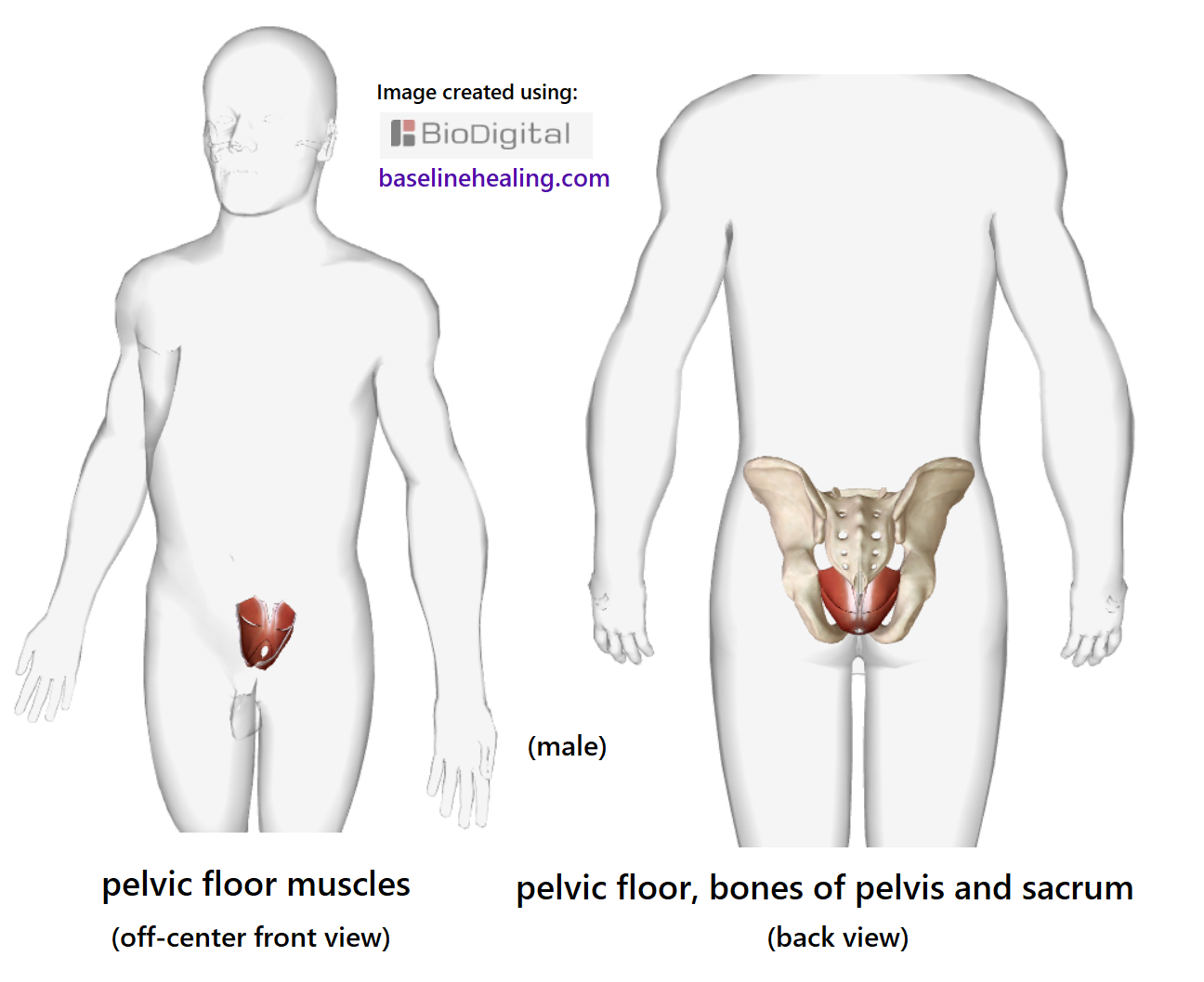 Pelvic Floor Muscles. The Base for all