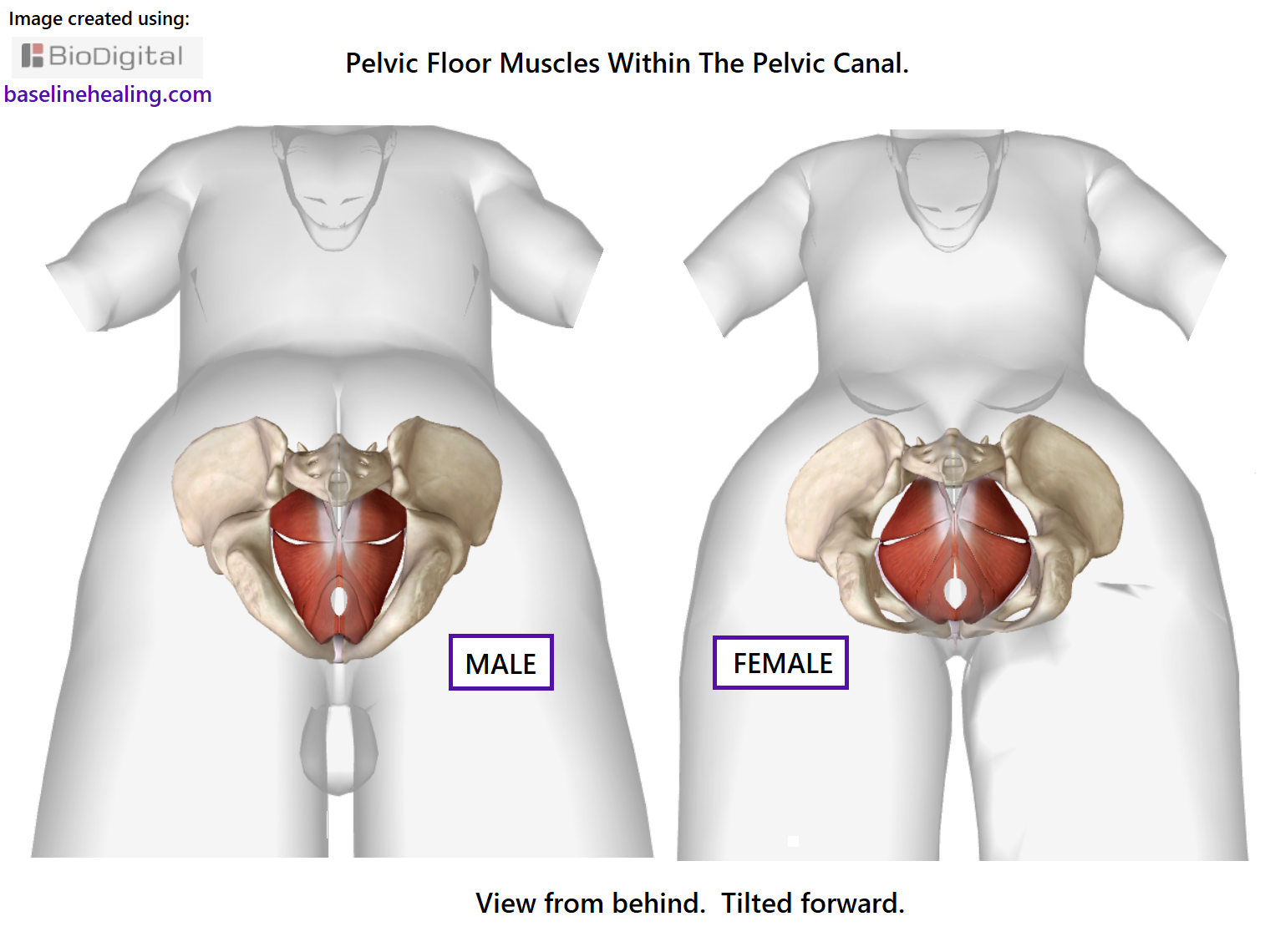 Outstanding Muscles Pelvis Adornment - Anatomy and Physiology Tissue ...