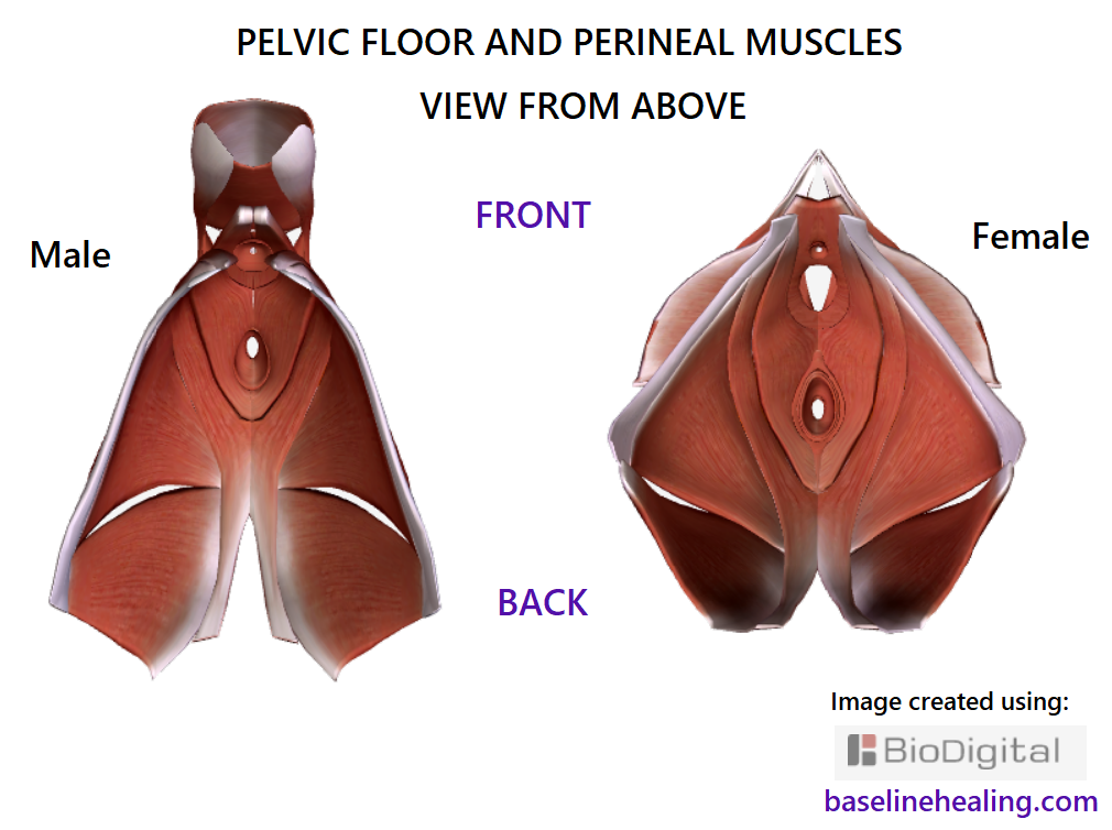 pelvic floor and perineal muscles male adn female viewed from above