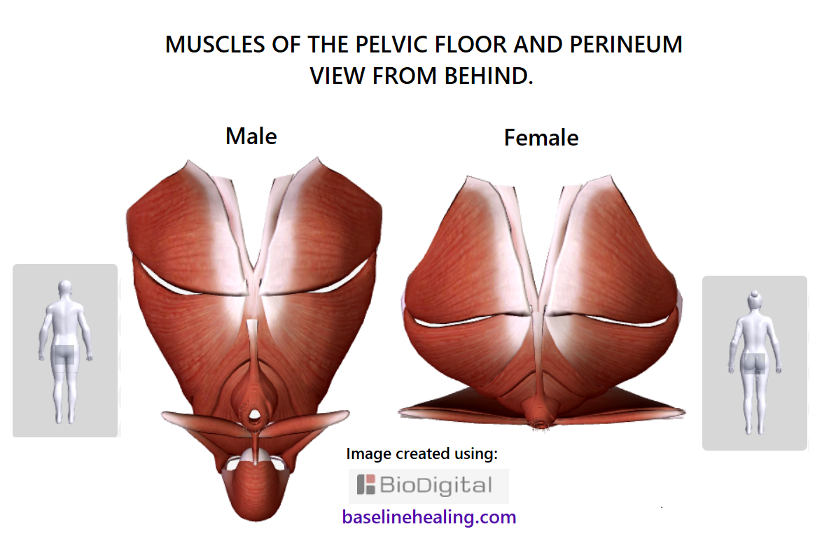 pelvic floor and perineal muscles male and female viewed from the behind