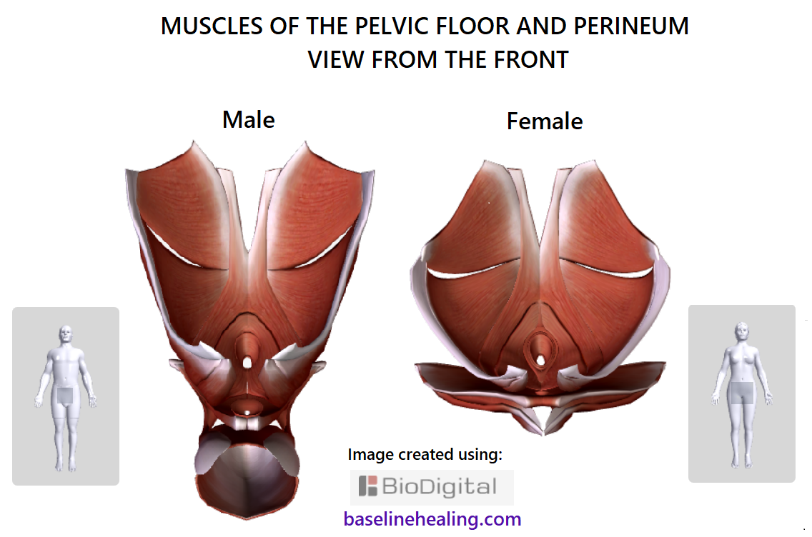 pelvic floor and perineal muscles male and female viewed from the front