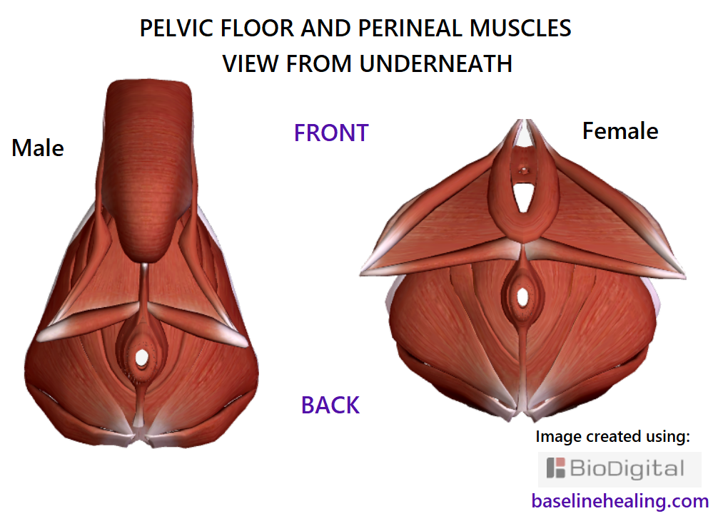 pelvic floor and perineal muscles male and female viewed from underneath