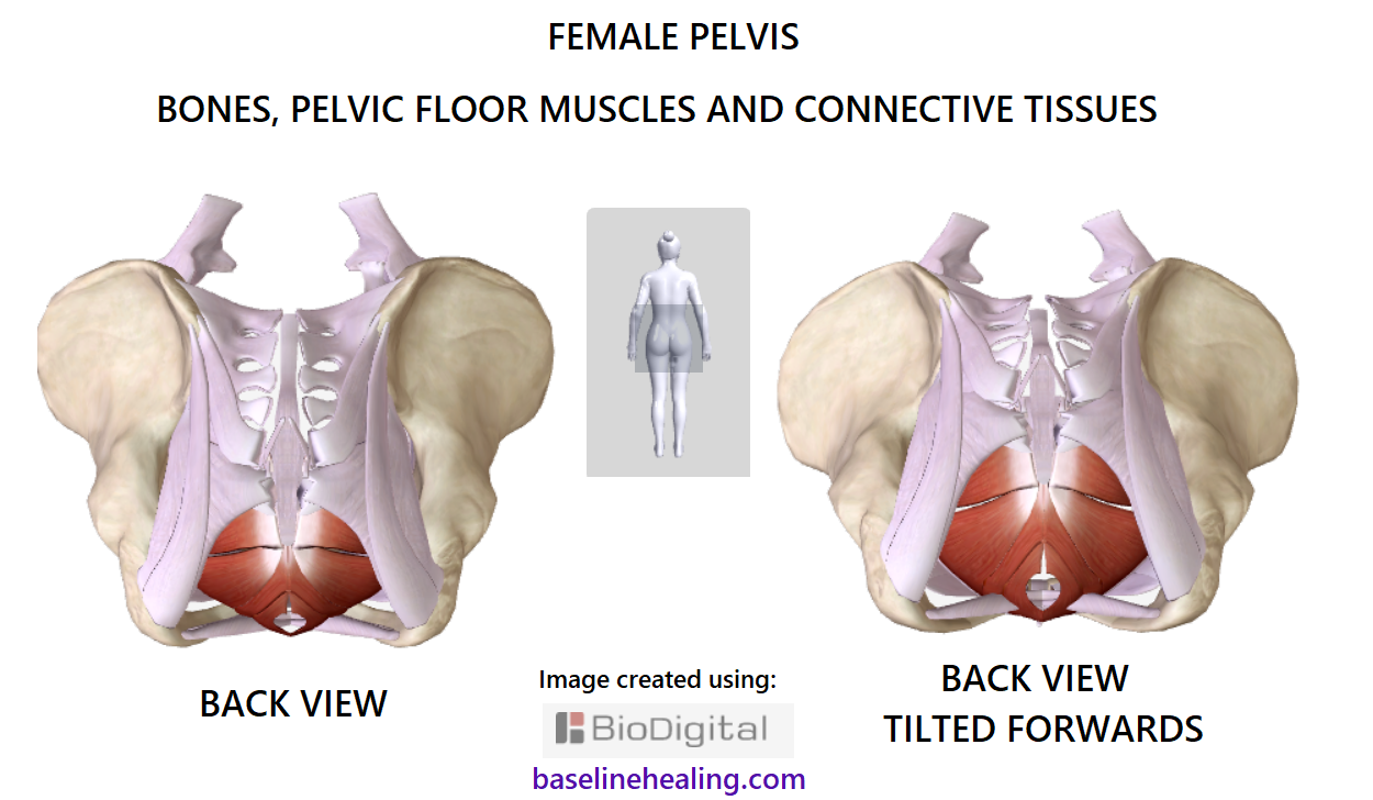 The Pelvis anatomy images. Pelvic Floor. Connective Tissues. Bones.