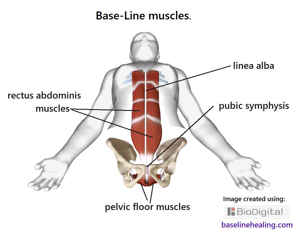 outline of human body seen from the front showing our Base-Line muscles: the pelvic floor muscles within the pelvis and the rectus abdominis muscles up the front of the abdomen from pubic symphysis to the lower ribcage.