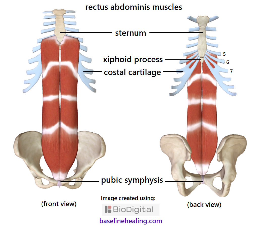 Two images of the rectus abdominis muscles and their attachment sites. Front and back view. Showing the pelvic bones with the pubic symphysis midline at the front from where the rectus abdominis and linea alba originate. The upper attachments of the rectus abdominis are to the outside of the costal cartilage of ribs 5, 6 and 7 so these attachments are covered by muscle on the front view. The costal cartilage and xiphoid process of the sternum are visible on the back view.
