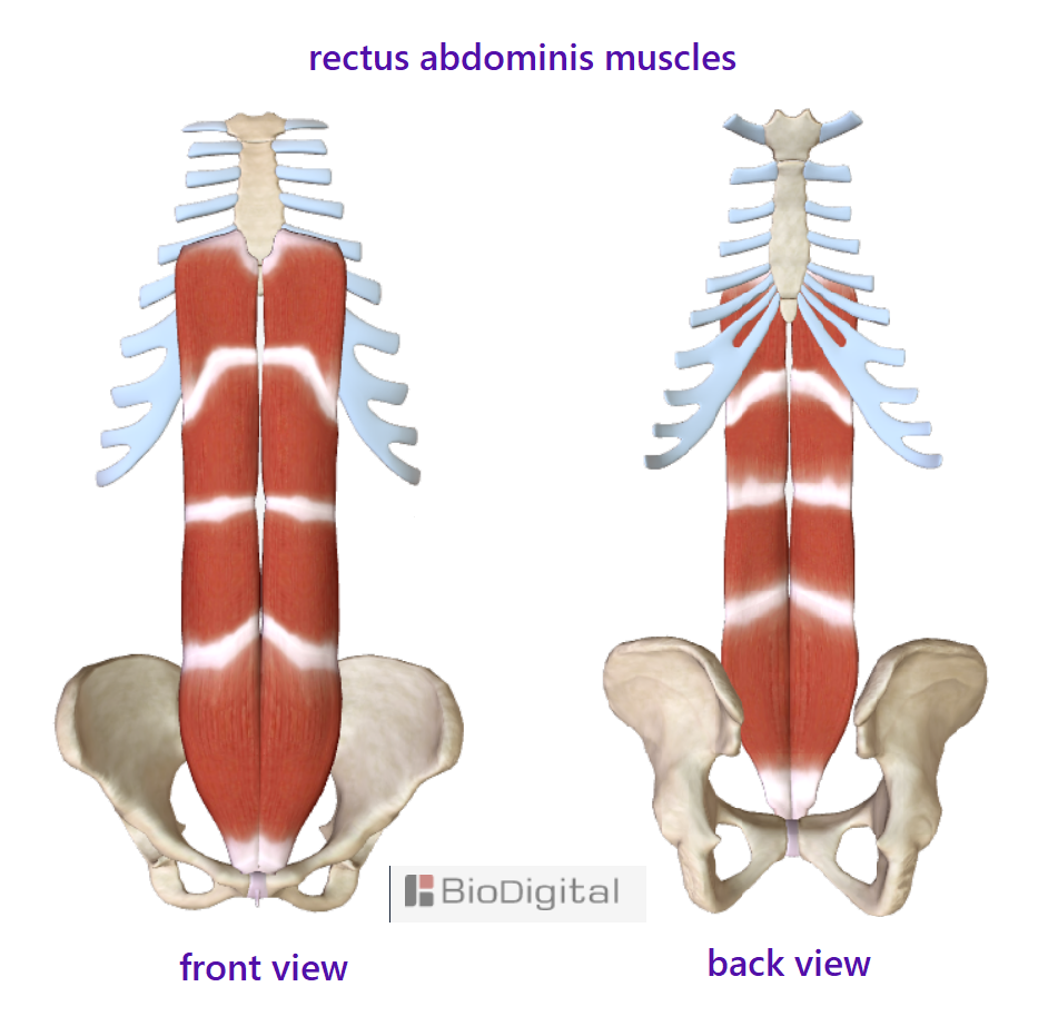 rectus abdominis muscles front and back view