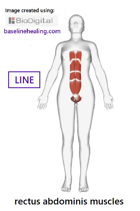 Outline of human figure showing the rectus abdominis muscles extending from between the legs at the front of the pelvis to front of the chest. Two long muscles, lying parallel running up the front of the abdomen attaching to the cartilage of the lower ribs. Each rectus abdominis consists of several sections of muscle tissue separated by horizontal strips of connective tissue known as tendinous intersections. The linea alba (white line) is a strip of connective tissue  midline between the rectus abdominis muscles, running from pubic symphysis to xiphoid process of the sternum. The rectus abdominis - the body's central line that should be active and elongated to support the rest of the body.