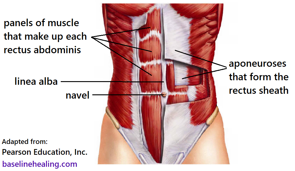 rectus abdominis made up from panels of muscle