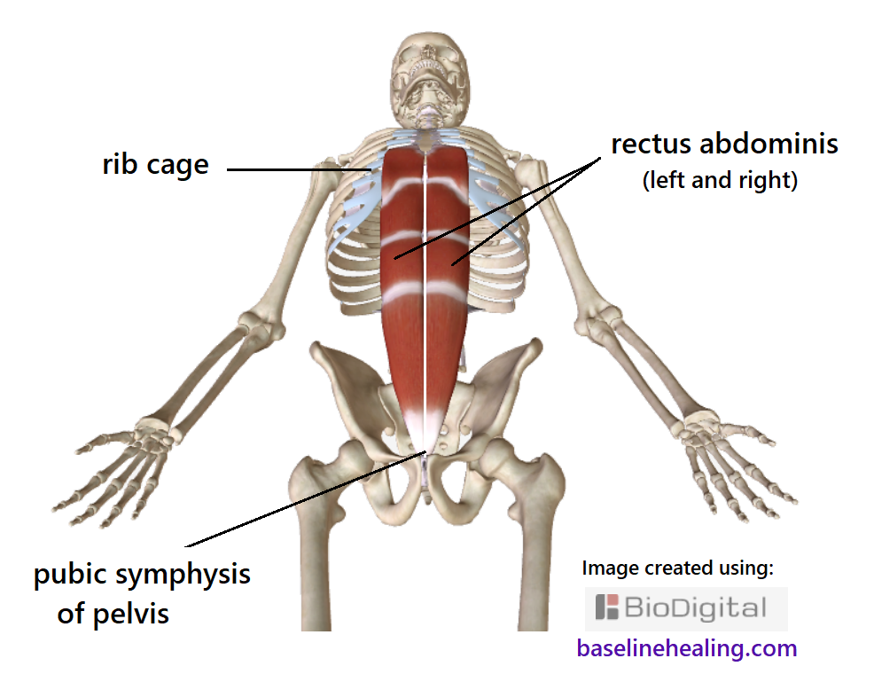 rectus abdominis muscles from the pubic symphysis to the costal cartilage of the ribs.