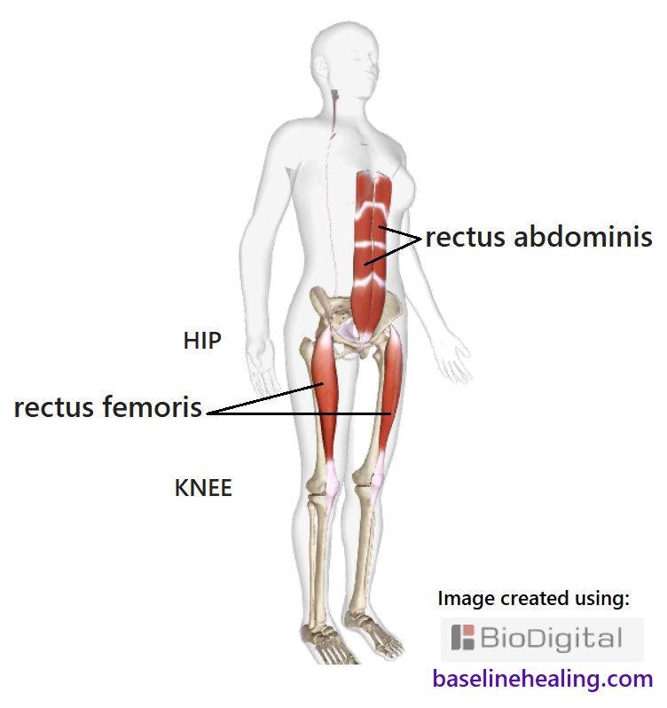 the rectus femoris and rectus abdominis muscles seen on a skeleton within the outline of a human figure.  From pelvis to shin, the rectus femoris muscles are like a solid pole down the front of the thigh, crossing the hip and knee joints thus aligning the legs to the torso. The rectus femoris turns into connective tissue (ligament/tendon) as it approaches the knee. The kneecap is a sesamoid bone within the connective tissue of the rectus femoris.  Pulling your kneecaps up is a good way to activate your rectus femoris.