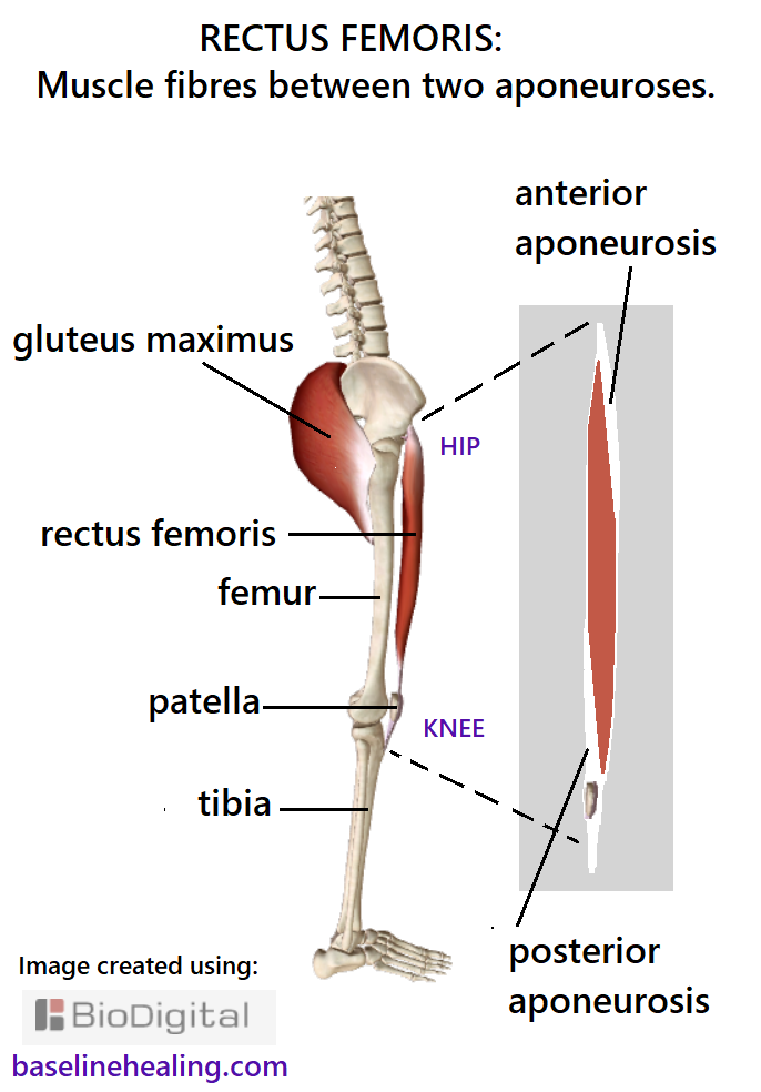 Skeleton seen from the side showing the rectus femoris at the front of the femur from hip to shin, with the patella lying within the ligament/tendon of the muscle. An enlarged schematic picture of the rectus femoris when seen from the side shows the layers of connective tissue known as aponeuroses that sandwich the muscle fibres.  A layer of connective tissue from the hip that extends down the front third of the muscle. Another layer at the bottom third at the back of the muscle extending to the patella.