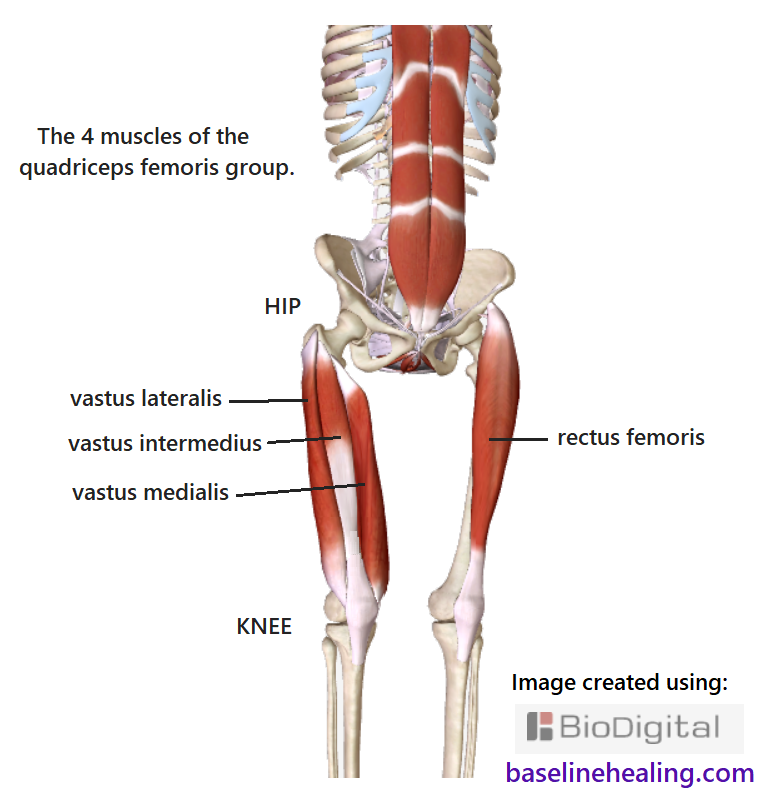 Skeleton front off-center view. The left leg shows the rectus femoris muscle from hip to shin. The right leg shows the other 3 muscles of the quadriceps femoris - the vastus medialis, vastus intermedius and vastus lateralis with attach to the top of the femur. The hip joint can be seen on the right leg. The distal tendons of the four muscles merge to form the common tendon of the quadriceps which attaches to and contains the patella. The connective tissue continues as the patellar ligament to the tibial tuberosity. The rectus abdominis muscles are also shown, up the front of the abdomen from pubic symphysis to chest.