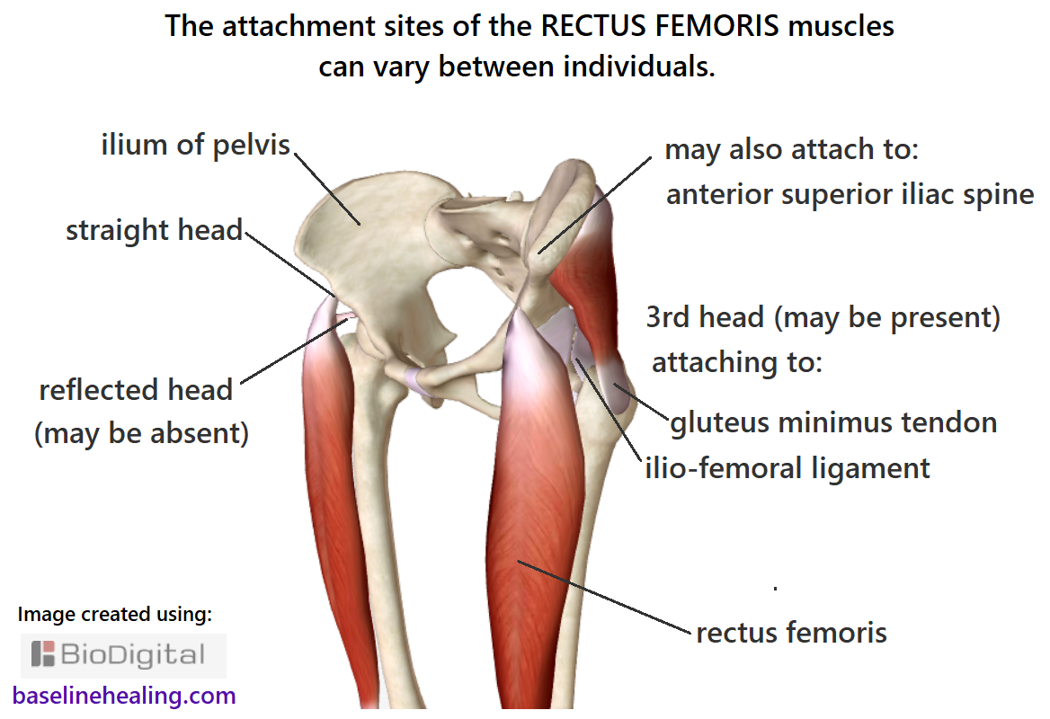 Image showing the possible attachments of the rectus femoris muscles to the pelvis and surrounding tissues. There is some variation between individuals in number and location of the attachments.